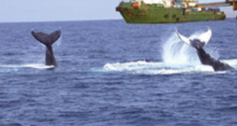 Les baleines autour d'une plateforme