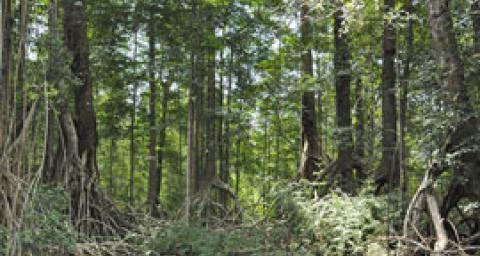 La mangrove, élément essentiel de la biodiversité